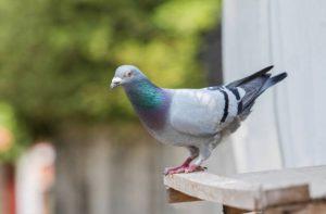 Faire fuir les pigeons de votre balcon ou de votre toit: Les épices