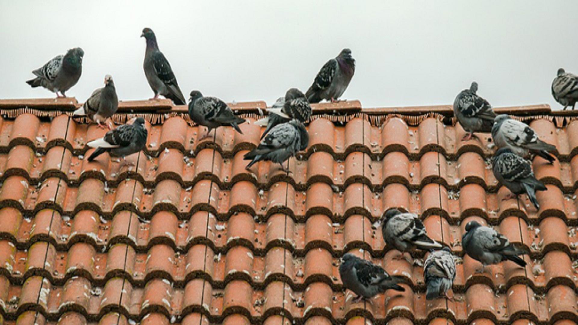 Comment-faire-fuir-les-pigeons-de-votre-balcon-ou-de-votre-toit
