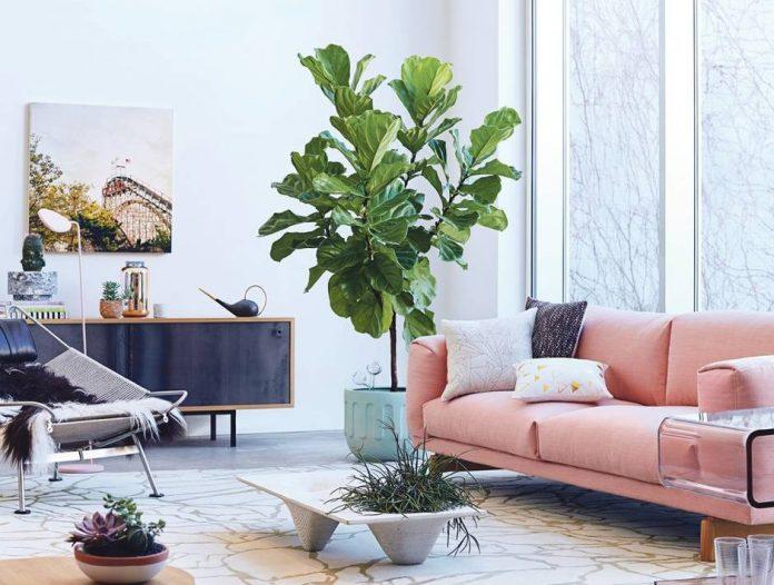 Comment prendre soin de Ficus lyrata