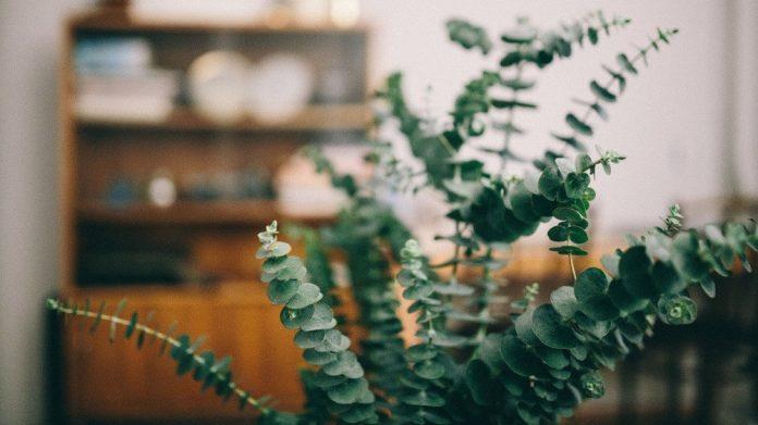 Comment faire pousser des plantes d'eucalyptus