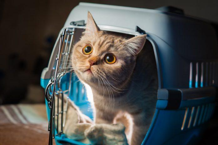 Comment transporter le chat en voiture, en train et en avion