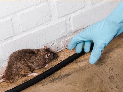 Invasion de rats et souris à Boulogne Billancourt