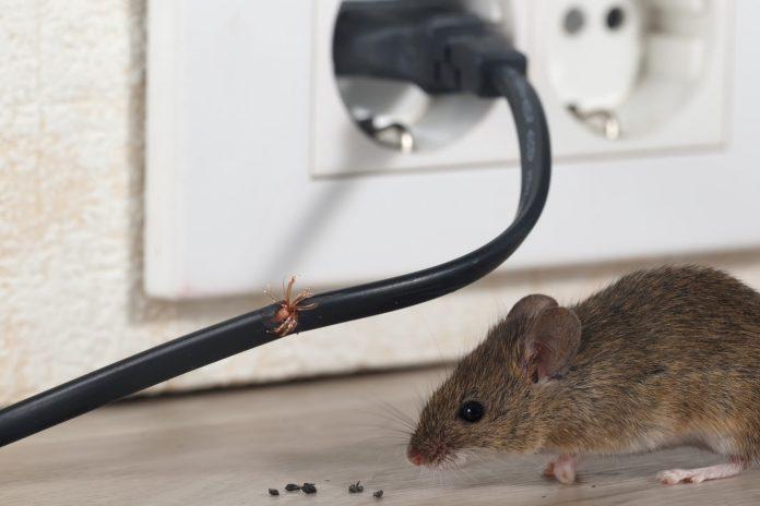 L'astuce pour garder les rongeurs hors de votre maison